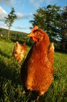 Heinz Wrage liefert frische BIO- und Freiland-Eier von kontrollierten Geflügelgruppen.